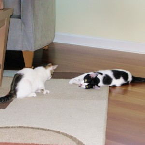 The Cow Cat's Adopted Furry Family Kittens Are Playing Hard