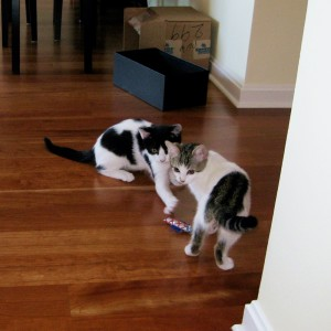 The Cow Cat's Adopted Furry Family Scotch And Soda Kittens Are Playing