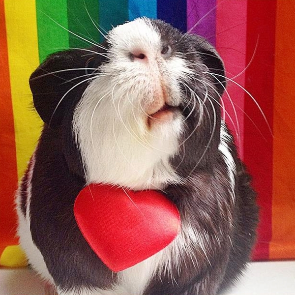 cute4kind | The Adventures Of A Rescue Guinea  Pig Zipper The Pig Love Wins