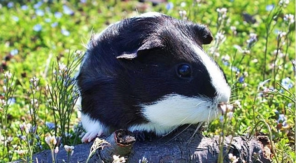 cute4kind | The Adventures Of A Rescue Guinea  Pig Zipper with natural green grass