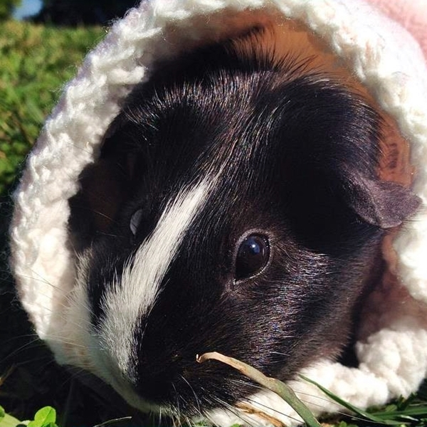 cute4kind | The Adventures Of A Rescue Guinea  Pig Zipper The Pig In Comfort Blanket