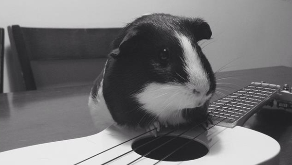 cute4kind | The Adventures Of A Rescue Guinea  Pig Zipper the pig is playing guitar like a pro