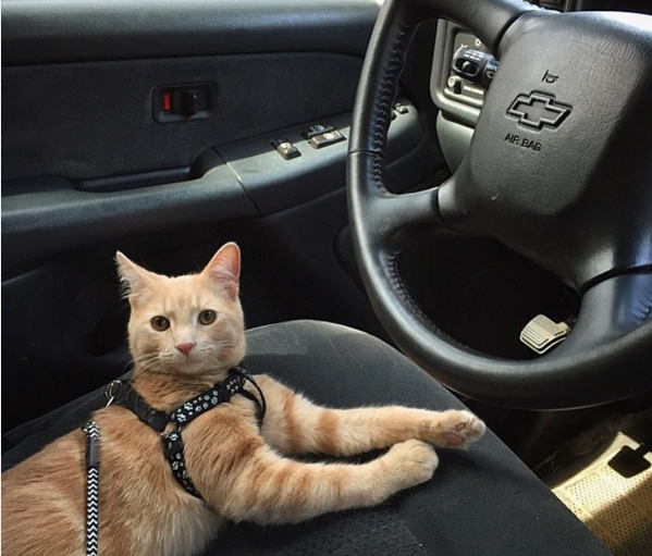 Cute4Kind | Mango the Adventure Cat gets ready in the car