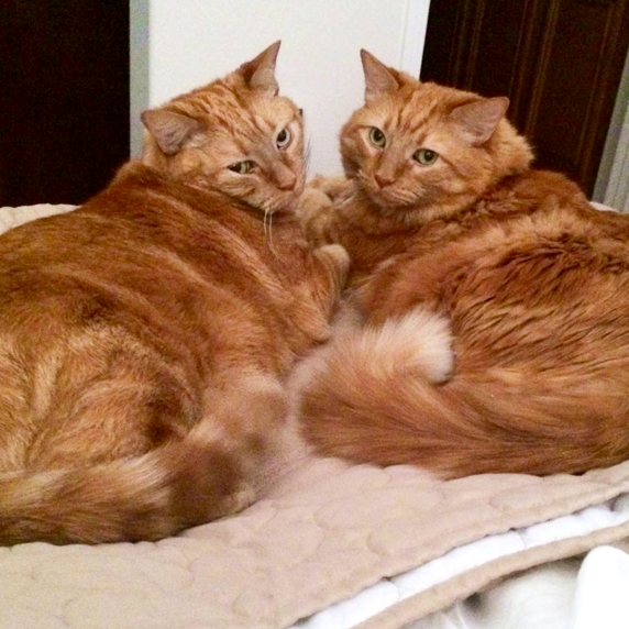 George Fluff and Joynce Senior Cats Family -| Cute4Kind Adopt Older Cats